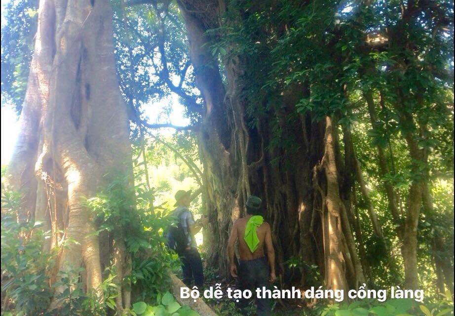 cây đa Làng Quan Lạn